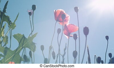 Poppy flowers against the blue sky swaying in the wind.