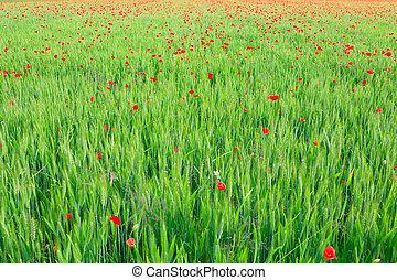 Poppy flowers background