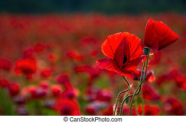 poppy flowers close up in the field. beautiful summer...
