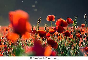 poppy flowers field at sunset - poppy flowers field bathing...