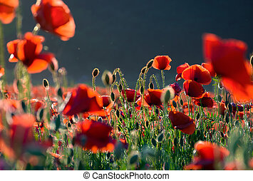 poppy flowers field at sunset - poppy flowers field bathing...
