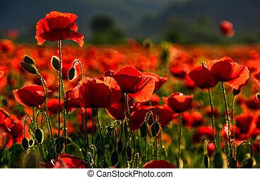 poppy flowers field at sunset - poppy flowers field....