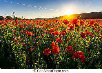 poppy flowers field in mountains. beautiful summer landscape...