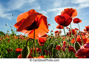 poppy flowers field in mountains - poppy flowers field under...