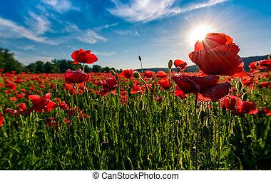 poppy flowers field in mountains. beautiful summer landscape...