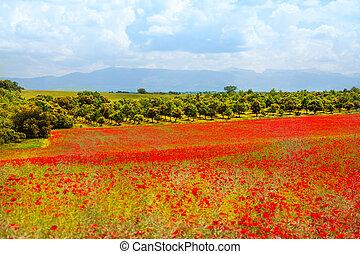 Poppy flowers field in Provance
