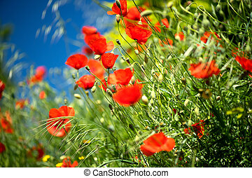 Poppy flowers field nature spring background. Blooming poppies over blue sky