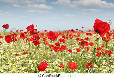 poppy flowers field nature spring scene