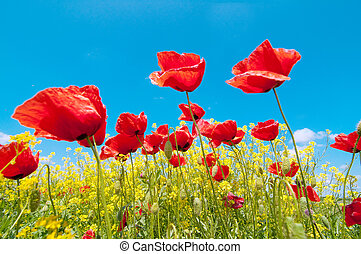 Field of corn poppy flowers (Papaver rhoeas) against the blue sky in spring morning