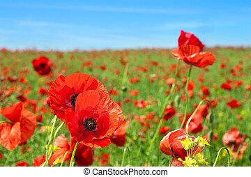 Poppy flowers field