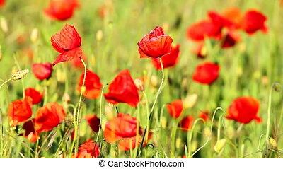 Poppy flowers in sunset light