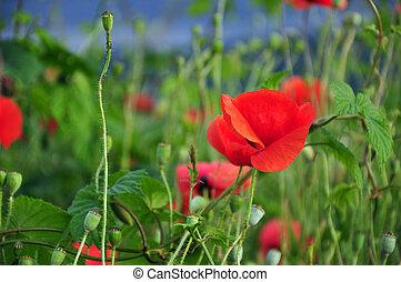 Poppy flowers in a grain field