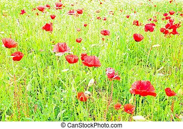 Poppy flowers in the field in spring
