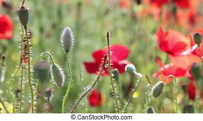 poppy flowers nature background
