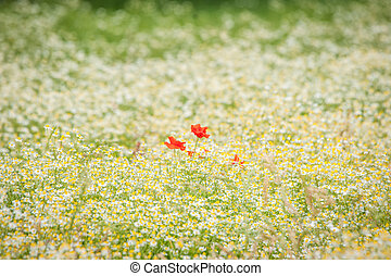 Poppy flowers on a chamomile meadow