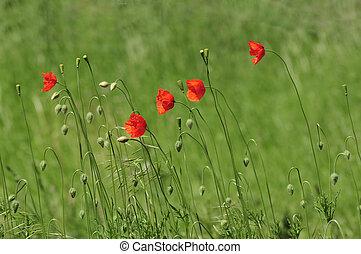 Poppy Flowers on a meadow in summer
