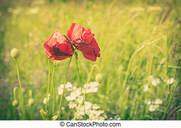 Poppy flowers on a meadow