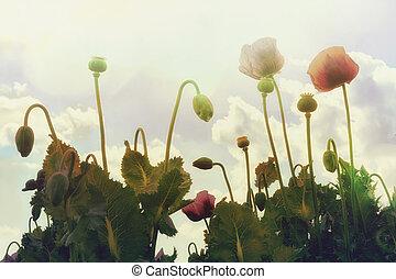 Poppy Flowers on a Sunny Day