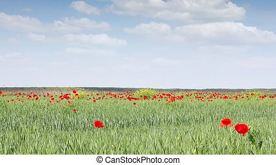 poppy flowers on green wheat field