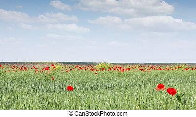 poppy flowers on green wheat field