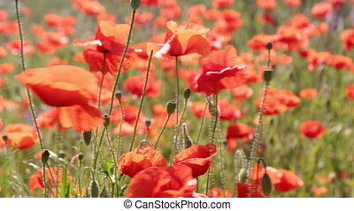 Poppy flowers swaying in a gust of wind. A field of poppies...