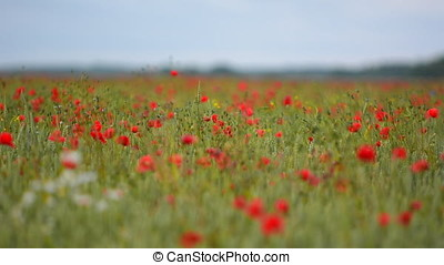 Poppy flowers taking over farmland in Sweden during summer -...