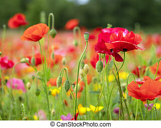 Poppy flowers with buds and seed pods in a summer garden