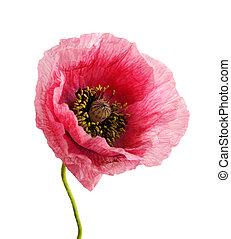 poppy., head., flor