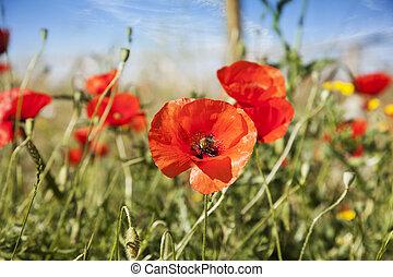 Poppy in a summer meadow