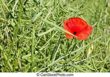 Poppy in canola field