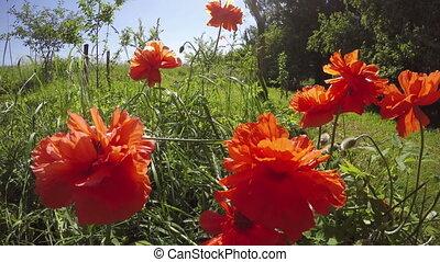 Poppy in farm garden