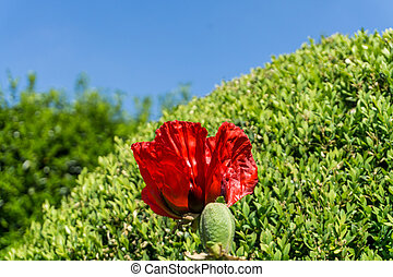 Poppy in front of a bunk tree with blue sky