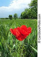 poppy in landscape