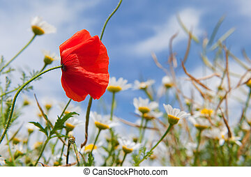 Poppy in landscape with daisies
