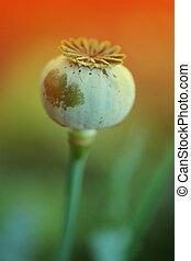 Poppy in nature