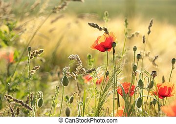 Poppy in the field
