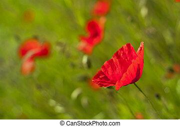 Poppy in the green field.