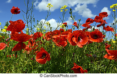 Poppy - Meadow with beautiful bright red poppy flowers in...