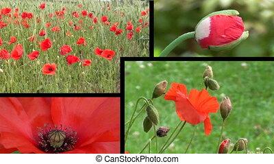 poppy montage