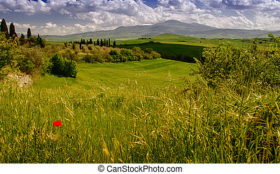 Poppy on a green meadow - Tuscany