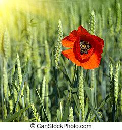 poppy on field of green wheat