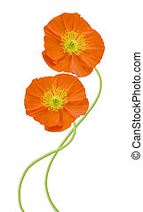 poppy (orange) flowers isolated on white background.