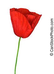 Poppy Over White