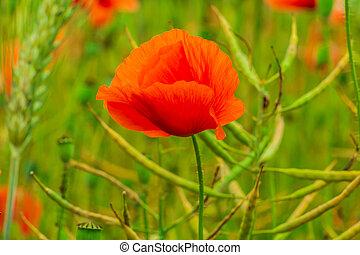 Poppy plants in the field