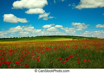 Poppy rape and clouds