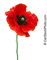 poppy. red poppy isolated on white background.red poppy....