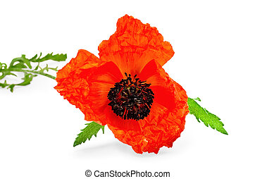 Poppy red with green leaves