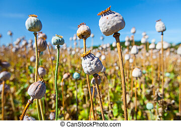 poppy seed capsules on a background