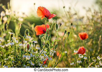 Poppy seed in the field at sunrise, Poland