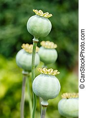 Poppy seed pods - Macro of green poppy (Papaveraceae) seed...